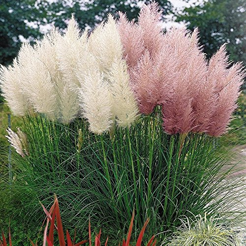 Asklepios-seeds® - 300 Samen Cortaderia selloana rosa Feder, Pampasgras