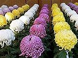 100 aster semi cinese crisantemo ornamentali semi di fiore belle piante in vaso per la casa giardino piantare bianco