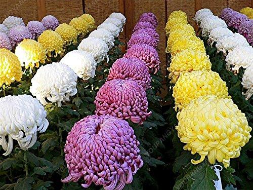 100pcs/sac belle couleur Graines de fleurs rares Tapissant Chrysanthème Graines vivaces Bonsai plantes pour jardin Ornements Jaune