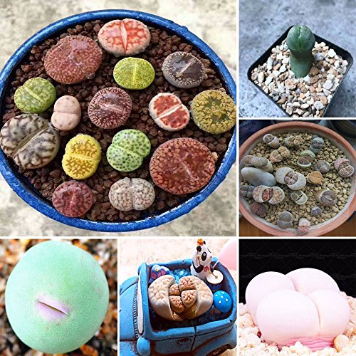 Bedler Lithops Pseudotruncatella Samen Dasktop Green Pflanzen Seltene Topf Stein Succulentes Mischung Samen lebende Steine samen