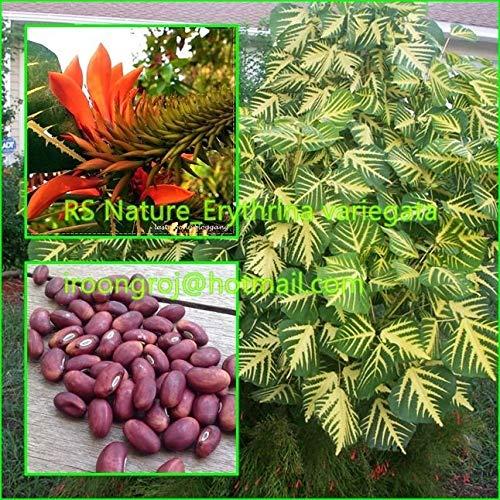 PLAT FIRM GERMINATIONSAMEN: 5 Samen: Erythrina variegata Seds, seltene Pflanze, schöne Blätter, Tigerkralle, Korallenbaum