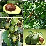 5 piezas de semillas de aguacate raras, mágicas semillas de árboles frutales exóticos fáciles de plantar para la plantación de balcones de jardín interior