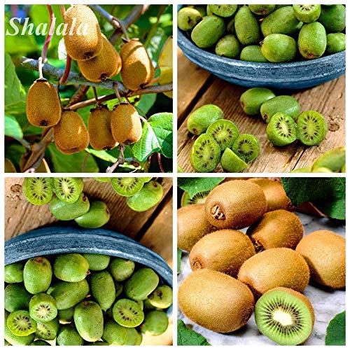AGROBITS Graine Kiwi Bonsai organique Semente De Frutas Tropicais Jardin Actinidia 150 P