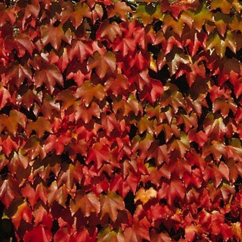 Wilder Wein Parthenocissus tricuspidata Veitchii 2 L Co.