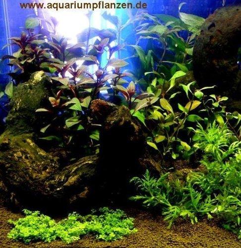Mühlan - Wasserpflanzensortiment Farbtraum, überwiegend farbige und rote Aquarienpflanzen inkl. Dünger