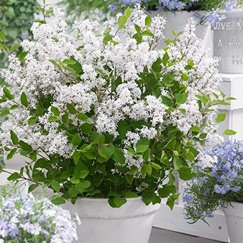 Qulista Samenhaus - Rarität Zwerg Duftflieder Flowerfesta® Purple Frosthart und pflegeleicht Blumensamen winterhart mehrjährig, Ideal für kleinere Gärten, Terrassen und Balkone