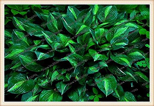 200pcs / sac plantes hosta, Hosta 'Whirl Wind' à l'ombre complète, hosta fleur, graines de fleurs, graines de graminées, plantes ornementales pour la maison jardin