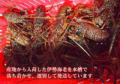 築地魚群活伊勢海老イセエビ1尾約500gサイズ国産