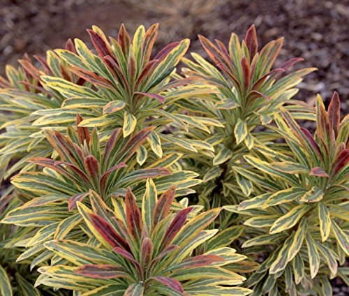 1 x Euphorbia martinii 'Ascot Rainbow' ® (Wolfsmilch)
