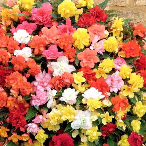 Derlam Samenhaus-50 Pcs Begonie Summer Rainbow Mix Saatgut Gartensamen Blumensamen mischung exotische Samen Blumen mehrjährig für Garten