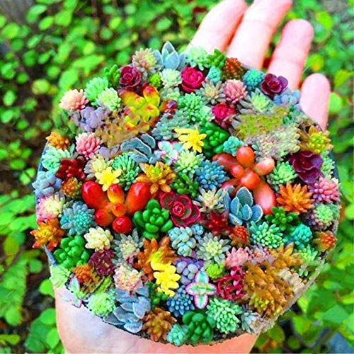 Qulista Samenhaus - 100pcs Rarität echt Sukkulenten Samen Mix | Kakteen pflegeleicht Succulent Blumensamen Mischung mehrjährig Winterhart für Garten/Balkon/Bonsai