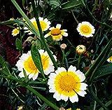 Di solito ci vuole circa 1-4 settimane di tempo per consegnare dopo che l'oggetto è stato spedito. Si prega di controllare il tempo di consegna prima di effettuare gli acquisti. Futaba Marguerite Chrysanthemum frutescens Argyranthemum perenni Erbe 20...