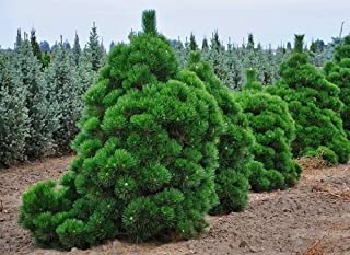 pine thunderhead pinus