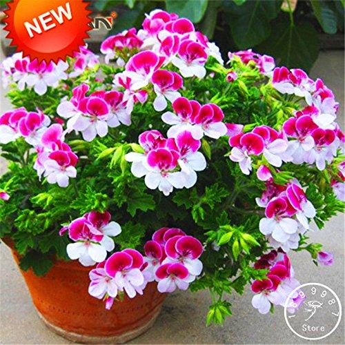 Big Sale! 20 PCS / Sac à deux couleurs Rouge Blanc univalve Géranium Seeds vivace Fleur Pelargonium Peltatum Seeds, # HNW8EY