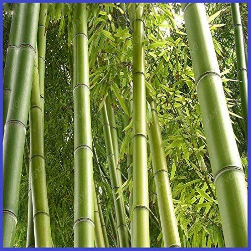 100 graines de bambou Moso Phyllostachys Heterocycla Pubescens - Graines géants Moso Bambou