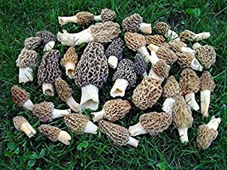 Morel Mushroom Spores in Sawdust Seed Spore Grow Large Kit From WV makes 25 gals