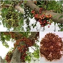 Cluster fig 100 Seeds, Ficus racemosa, Tree Bonsai Seeds, Thai Unique A Native