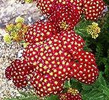 Achillea millefolium Achillea Sneezewort Paprika Fiore Mix 1000 semi