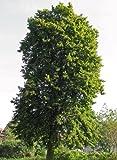 Sommerlinde 20 Samen - Winterhart -''Tilia platyphyllos'' Auch Bonsai geeignet
