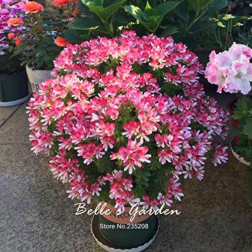 5pcs Couleurs multiples Variétés Géranium Graines Bonsai Pelargonium vivaces Graines de fleurs Hardy Patio Plante Plante en pot bricolage 04