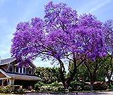 11.11 Venta grande! 50 / bolsa de semillas de rápido crecimiento Paulownia púrpura semillas de árboles raros para la decoración de establecimiento casa