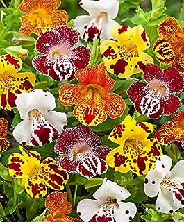 HOT - Tiger Monkey Flower Mix - 3200 Seeds - Mimulus tigrinus grandiflorus