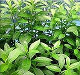 PAPCOOL 'Longevity Spinach' Gynura Procumbens – (02) Plạnts Lịve Longevity Spinach – Outdoor Growing