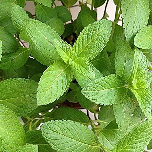 SVI frais 400 Pcs plantes menthe semences pour Green Light