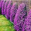 200 graines / lot rock Cress, GRAINES Aubrieta Cascade Purple Flower, couvre-sol vivace Superbe maison jardin #1