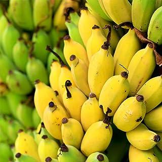 ドワーフバナナ(矮性バナナ)の苗 6号ロング鉢【品種で選べる果樹苗/1本売り/鉢の色のご指定できません/詳細な品種は不明】学名: MUSA acuminata/バショウ科ムサ属 常緑性熱帯果樹●室内窓辺に置いて、観葉植物としても利用できます。矮...