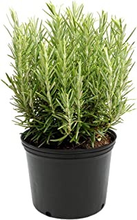 AMERICAN PLANT EXCHANGE Upright Rosemary Indoor/Outdoor Air Purifier Live Plant, 6