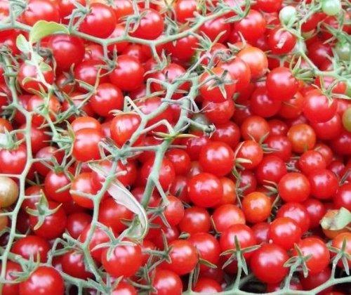 Mini-Kirschtomate - Cherry-Tomate - Tomate Currant Sweet Pea - 10 Samen