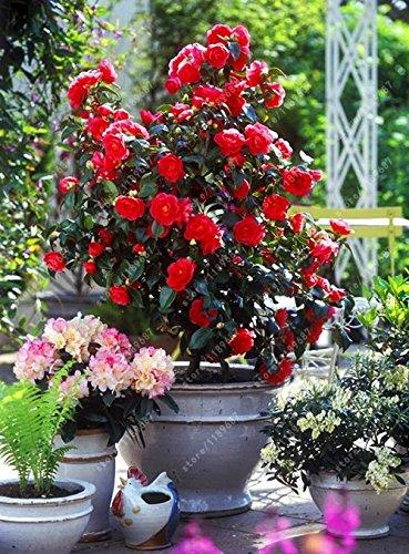 100% des graines Real camélia commun, (Camellia japonica), graines de fleurs bonsaï plantes en pot extérieur de bricolage pour jardin maison 5 pièces/sac 6