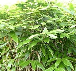 Best sasa bamboo plants Reviews
