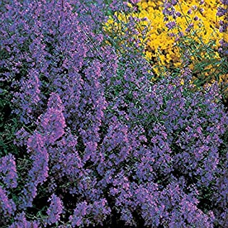 Park Seed Blue Carpet Catmint Seeds