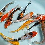 【生体】お任せ!錦鯉Mix 5匹 L 16cm~20cm 鯉 色鯉