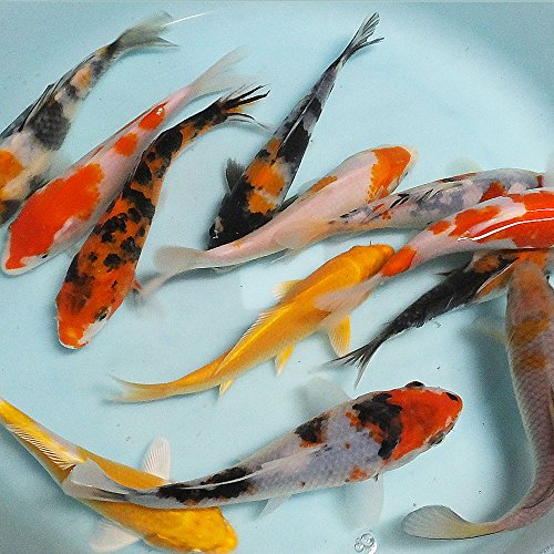 【生体】お任せ!錦鯉Mix 5匹 L 16cm~20cm 鯉 色鯉 emuwai
