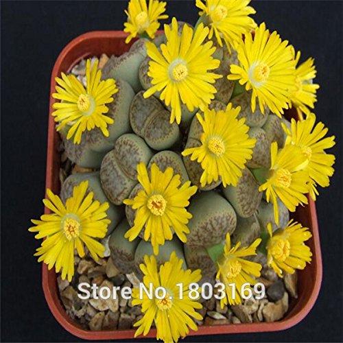 100 semillas / pack Semillas Lithops suculentas semillas - flor de piedra en bruto - Piedra de semilla de flor del conejito de flor de piedra 4: Amazon.es: Jardín