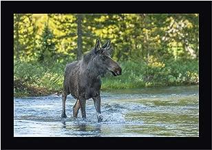 CO, Rocky MTS Male Moose Crossing Colorado River by Cathy - Gordon Illg 18