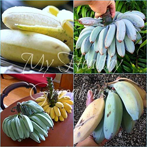 Qulista Samenhaus - Rarität Mini Zwerg Bananen Bonsai Zimmerpflanzen | exotisch Bananenbaum Bananenpflanze Obstsamen Mischung mehrjährig Winterhart (SVC031332_1,10pcs)