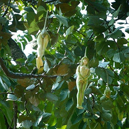 Weibliche Ginseng-Fruchtsamen, 10 Stück, seltene weibliche Form, Ginseng-Frucht, Pepino-Samen, Garten, Outdoor, Baum-Pflanze