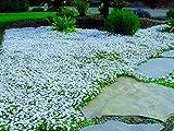 Aimado Seeds Garden-30 Pcs Graines étoiles bleues tapissantes fleurs graines plante exterieur Vivaces couvre-sol