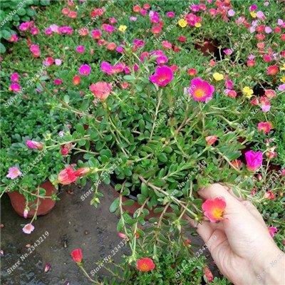 Portulaca Seed, Moss-rose Pourpier Plantes d'intérieur Fleurs doubles semences Balcon et cour Bonsai Seed en herbe Taux 95% 120 Pc 3
