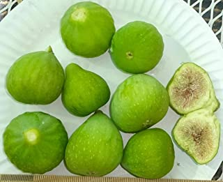 3 Desert King, Yellow Fig Tree Cuttings