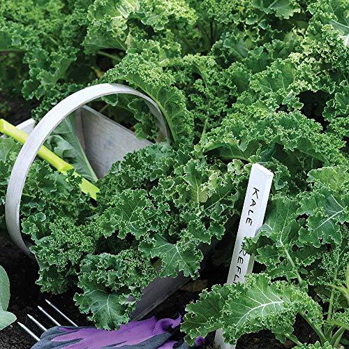 AIMADO Samen-100 Stück Grünkohl Samen Bio Saatgut Gemüse Wohlschmeckendes Wintergemüse mehrjährig winterhart,Ideal für den City Garten