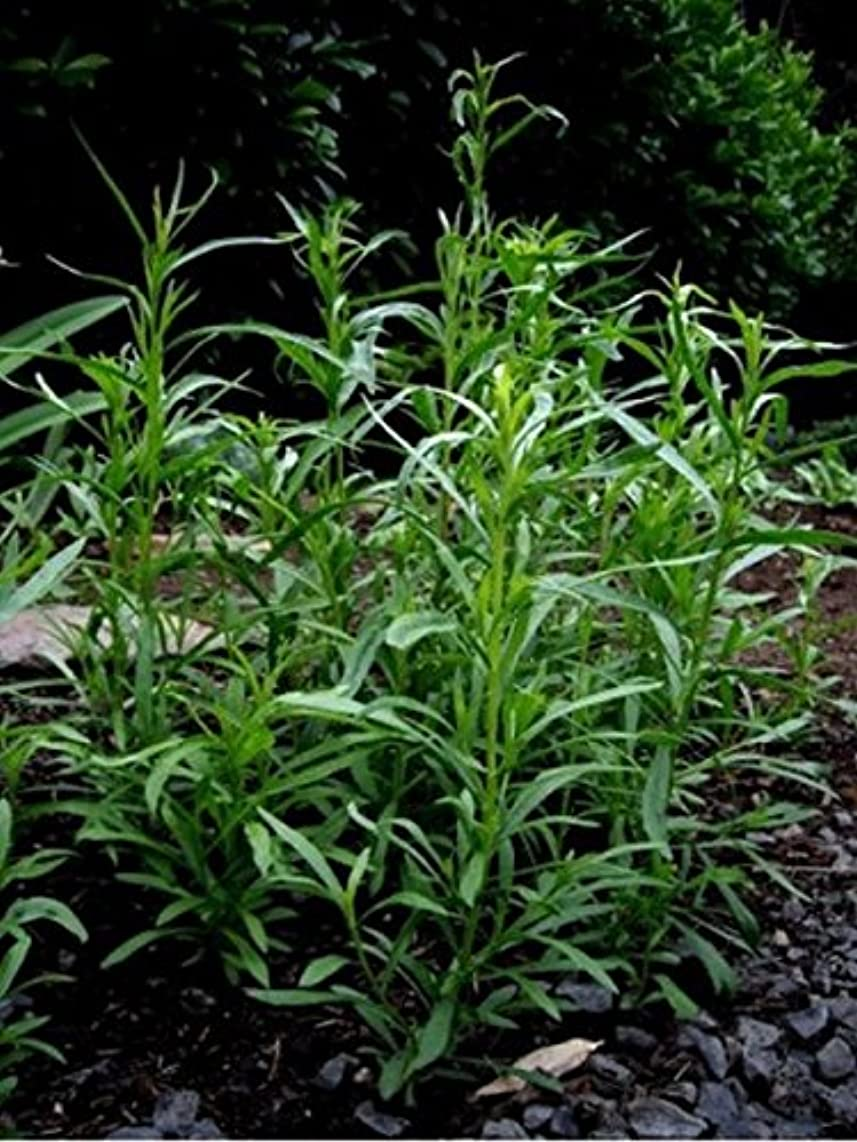Tarragon- 200 Seeds - herb plants- easy to grow