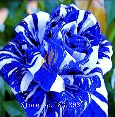 100PCS Fleur Rose Graine Hollande Amoureux des semences cadeau Orange Vert arc-en-RARE Couleur 24 Bricolage choisir le jardinage Fleur 1