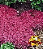 Inkeme Giardino - Tappeto profumato semi di phlox Copertura del suolo Timo rampicante Fiori perenni Bordo perenne Semi di fiori alle erbe di pietra Hardy perenne