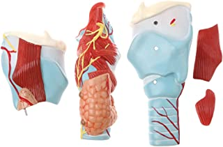 Homyl Magnification 2x Human 5 Parts Pharynx And Larynx Skeleton Model School Teaching Display Tool Lab Supplies