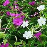 Charm4you Ornamentales para balcón, Jardín,Jazmín al Aire Libre balcón jardín Floral semilla-Blanco_20g,Perenne Resistente Semillas